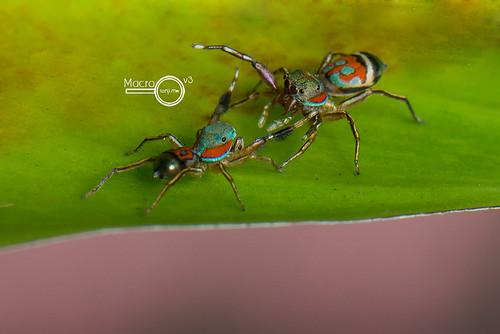 A Siler semiglaucus fight- ♂ vs ♀
