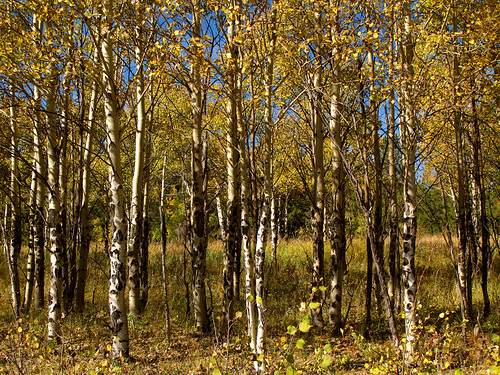 travel blue autumn trees light vacation sky usa oktober sun mountain holiday mountains green fall nature colors leaves yellow america forest canon landscape geotagged golden us leaf woods colorado holidays unitedstates grove branches urlaub laub herbst natur rocky himmel denver berge foliage co rockymountains trunks blau aspen amerika ursula espen äste landschaft sonne wald blätter bäume baum vacanze sander g11 baumstamm populus goldengatecanyonstatepark 100000views 100faves 2013 200faves batikart canonpowershotg11