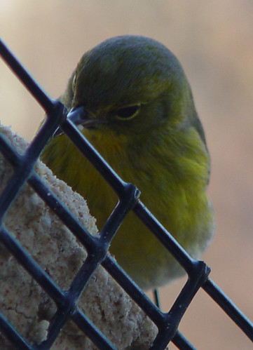 Pine Warbler at my suet feeder
