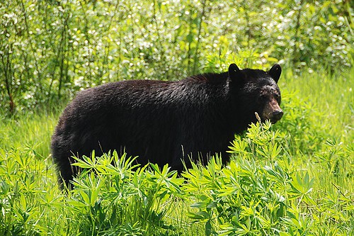 Black Bear alongside the Sea to Sky Highway near Whistler, Whistler Valley, British Columbia, Canada