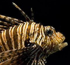 Lionfish 04