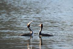 Grèbes (Podiceps cristatus) - Lac de Carouge Brétigny-sur-Orge Essonne