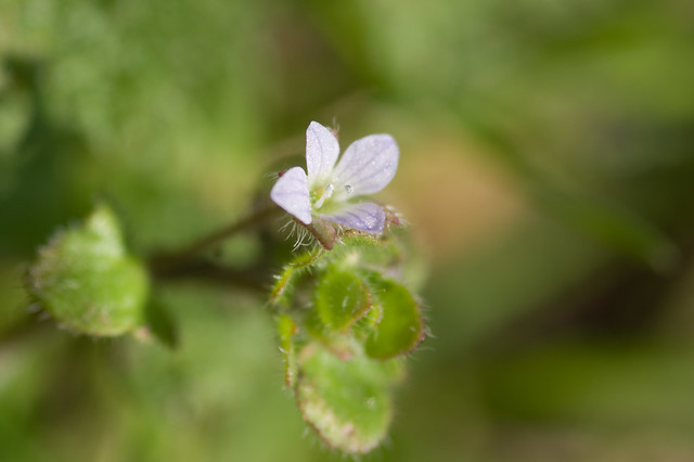 117: Ivy-leaved Speedwell