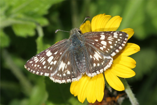 butterfly insect texas lepidoptera mission whitecheckeredskipper pyrgusalbescens missiontexas nickdean hespiridae nationalbutterflycenter nickdean1