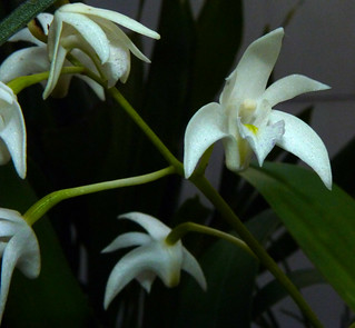 Dendrobium kingianum var. album species orchid