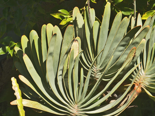 P20140322-0002—Aloe plicatilis by John Rusk