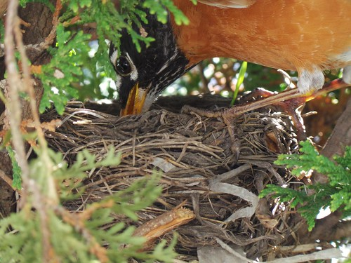 An American Robin feeding its babies