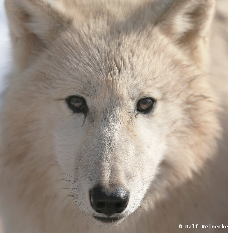 Arctic Wolf - February 2015 01
