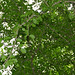 Small photo of False Turkeyberry (Canthium armatum)