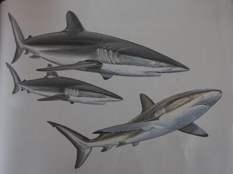 Illustrasjon Silky Shark (Sharks of the World)