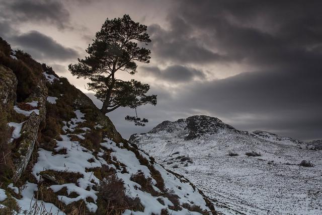 A Lone Scots Pine..