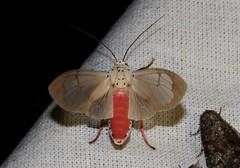 Amerila lupia (Erebidae, Arctiinae, Arctiini)