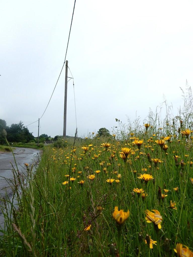 Yellow not-dandelions Catsears I think. Bures to Sudbury