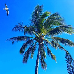 #biblejoe #bargara #queensland #beach #bundaberg #palmtree #seagull  palm tree and seagull