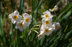 Van Saun Park-NJ daffodils