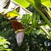Fleur de bannane