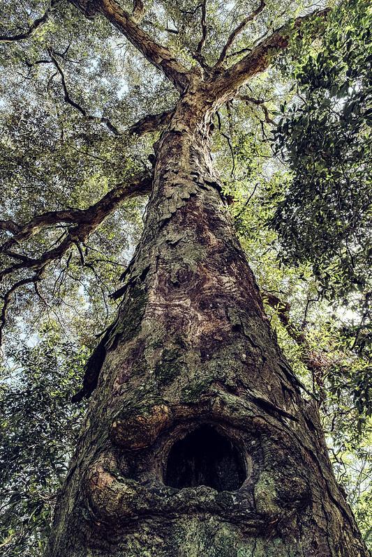Quercus gilva *