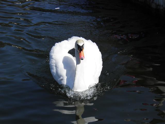 Лебедь // Swan