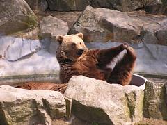 recreation(0.0), outdoor recreation(0.0), giant panda(0.0), animal(1.0), zoo(1.0), mammal(1.0), grizzly bear(1.0), fauna(1.0), brown bear(1.0), bear(1.0), wildlife(1.0),