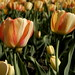 Tulip Festival 9 by crow.photography