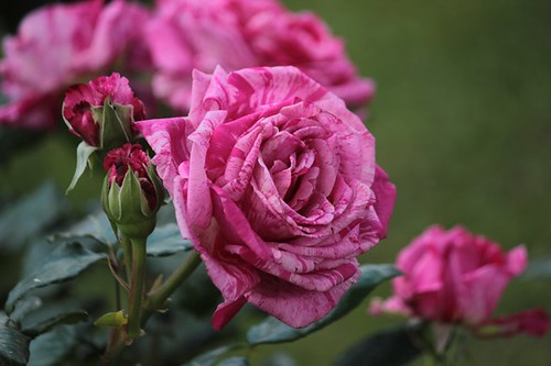 Roseto comunale: le rose