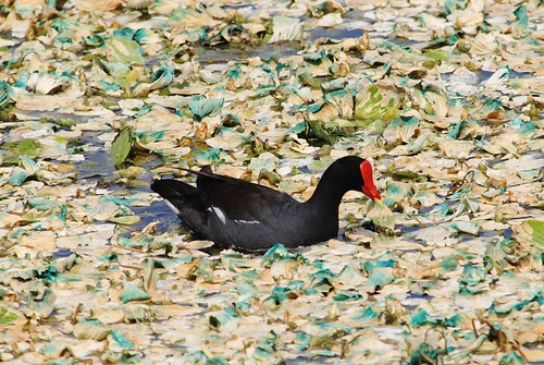 Red shielded Moorhen and bluing Water Lettuce by jungle mama