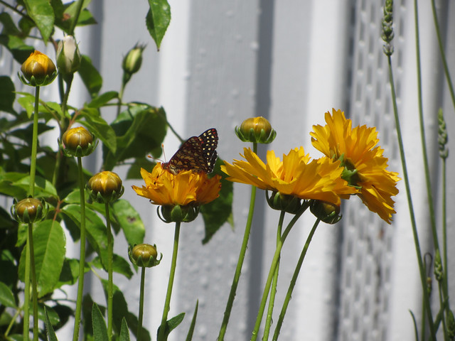 butterfly and coreopsis