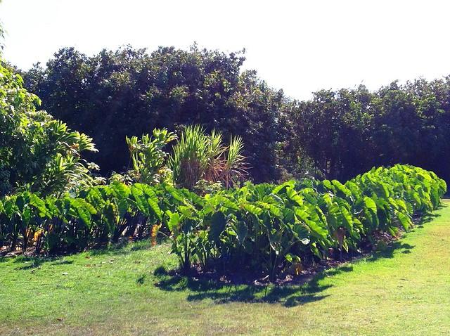 Photo Courtesy Of Maui Nui Botanical Gardens Flickr