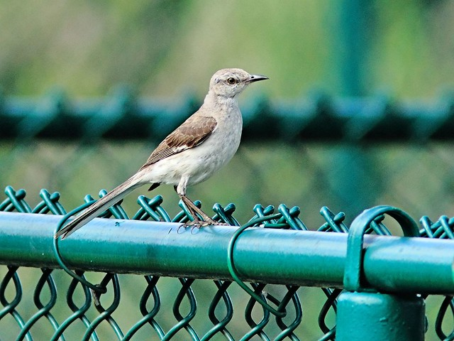Northern Mockingbird 20130530