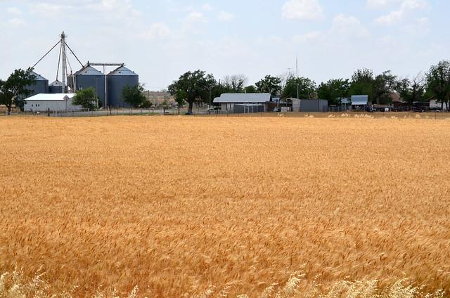 Wheat in Oklaunion