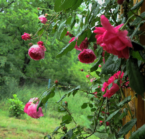 Welcome to my rose garden by kontinova2 - On vacation - traveling -