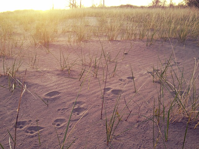 Coyote tracks on the beach