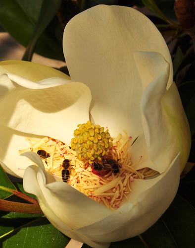 Bienen Bienen Blume Blumen Blüten Nektar Immergrüne Magnolie