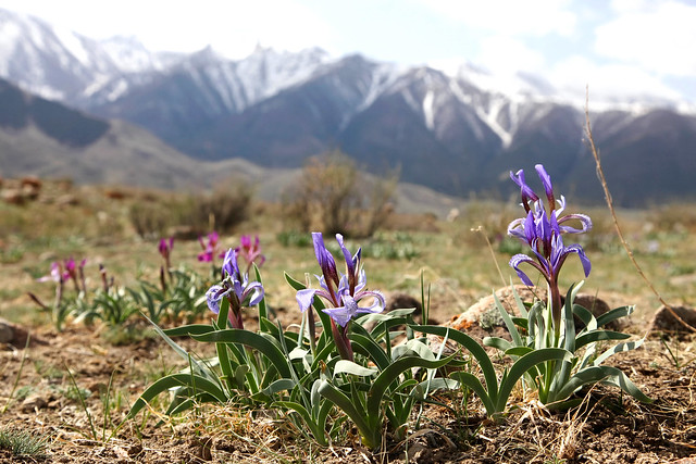 Iris flowers and Tian Shan mountains, Barkol grassland バルクル、草原のアヤメと天山山脈