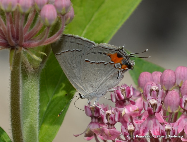 Strymon melinus, Gray Hairstreak, on Asclepias incarnata, Swamp Milkweed, July 2013