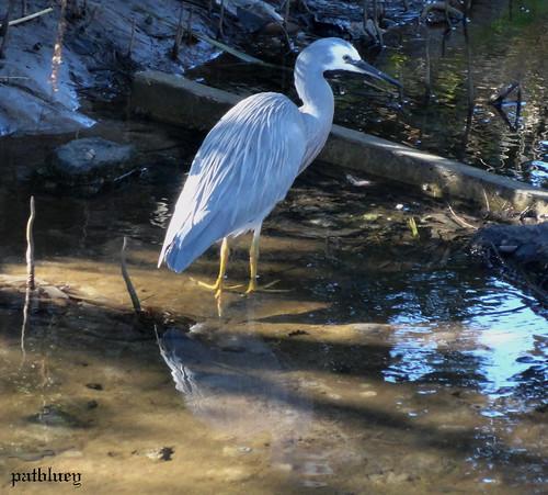 A grey Heron in Little Lake Warilla....Lake Elliott