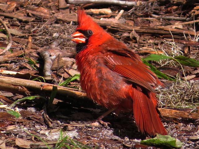 Sunning Northern Cardinal