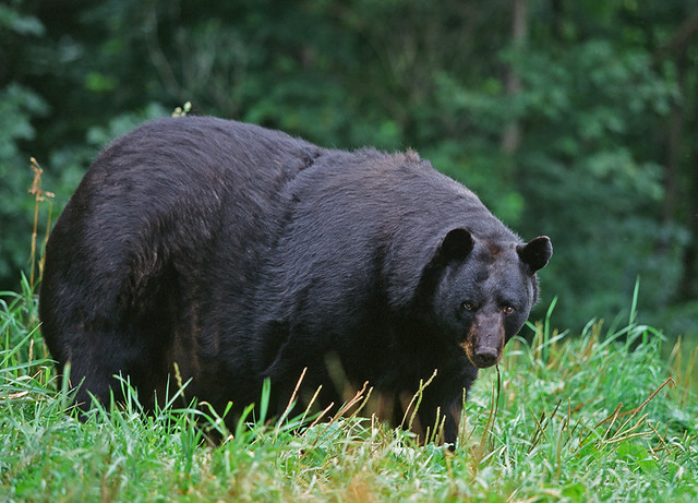 YES!!! Northern Gateway..kiss my A&*! Victory for First ... |Funny Black Bear Family