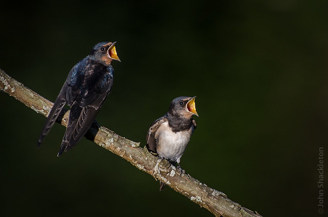 Young Swallows Feeding I