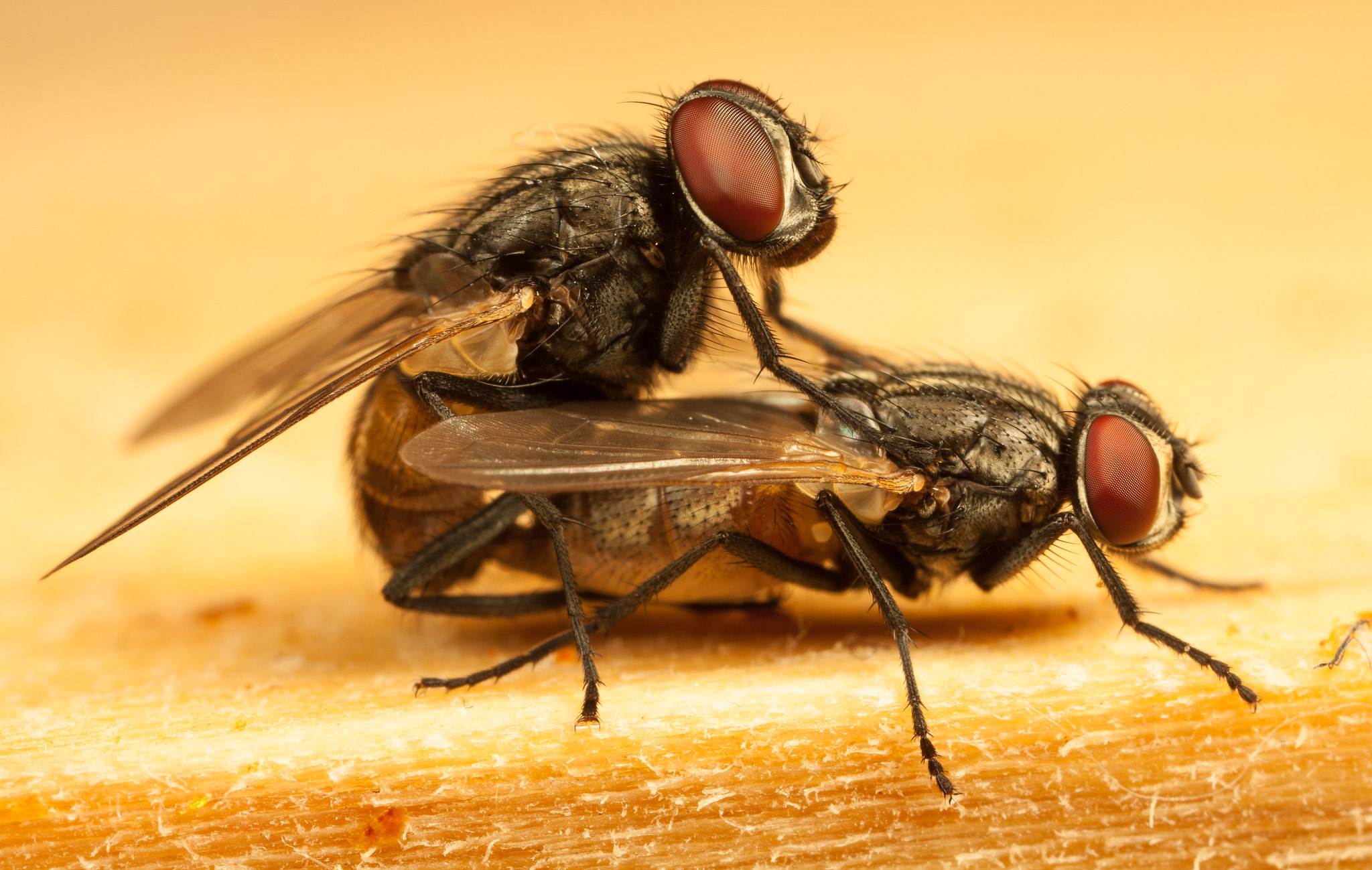 2 flies mating (2048X1299)