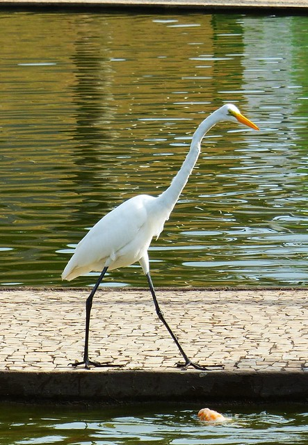 The egret and the fish