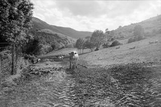 Vacas en Valgañón - f.11
