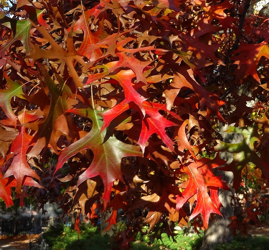 Pin Oak Fall Leaves