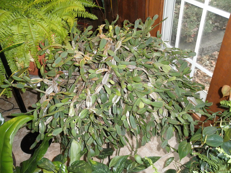 How To Prune A Christmas Cactus.An Old Christmas Cactus