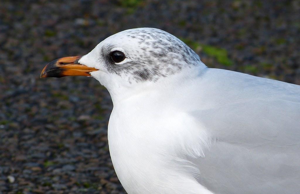P1060452 - Mediterranean Gull, Bracelet Bay