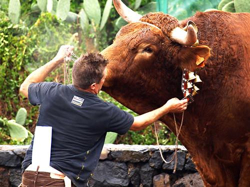 Ox, San Abad, La Matanza, Tenerife