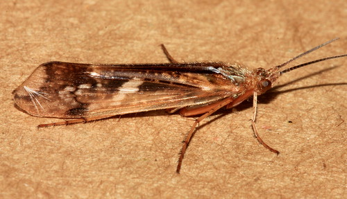 Trichoptera 11925
