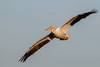 White Pelican by Bill'sLIPhotos