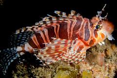 A Passive Lionfish