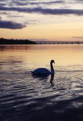 Swan in the setting sun